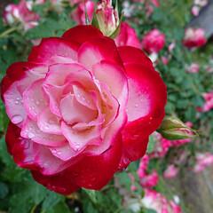 聖火/アプローズ/フクシア/カキツバタ/暮らし 薔薇の青い色基準はイギリスのキュー植物園…(4枚目)
