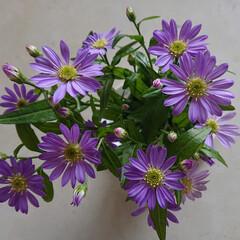 紫苑/ムーンダスト/アプローズ/青い花/暮らし 青い花は間もなく紫陽花が盛りですが、アプ…