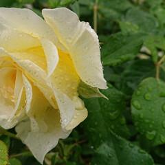 去年5月の薔薇/ミモザ/ピース/モッコウバラ/ビタミンカラー/黄色い花/... GW前くらいに咲き始めるモッコウバラのピ…(4枚目)