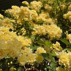 去年5月の薔薇/ミモザ/ピース/モッコウバラ/ビタミンカラー/黄色い花/... GW前くらいに咲き始めるモッコウバラのピ…(1枚目)