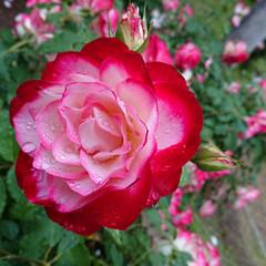 青龍/リンカーン/ピース/去年のGW/5月の薔薇/暮らし 去年に撮影した薔薇です😳今年も綺麗に咲い…(2枚目)