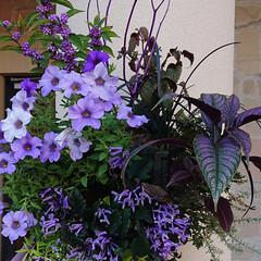 紫苑/ムーンダスト/アプローズ/青い花/暮らし 青い花は間もなく紫陽花が盛りですが、アプ…(3枚目)