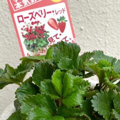 ワイルドストロベリー/多肉植物/ローズベリー/サンパラソル/暮らし 気温が上がり、我が家のサンパラソルの蕾が…(2枚目)