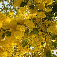 去年5月の薔薇/ミモザ/ピース/モッコウバラ/ビタミンカラー/黄色い花/... GW前くらいに咲き始めるモッコウバラのピ…(2枚目)