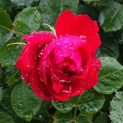 青龍/リンカーン/ピース/去年のGW/5月の薔薇/暮らし 去年に撮影した薔薇です😳今年も綺麗に咲い…(3枚目)