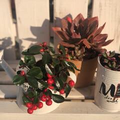 植え替えました/元気に育ってね/多肉/チェッカーベリー 先日長野で購入したお花達❣️ 赤い実のチ…