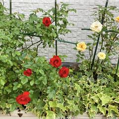 庭/花/薔薇/暮らし ミニバラちょっと咲きましたぁ✨🌹