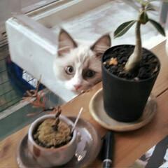 クリスマス/猫屋敷/おうち/2018/フォロー大歓迎/ペット/... 我が家に猫が‼️ 「ジロー」と名付けまし…