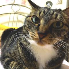 夜の1枚/猫屋敷/フォロー大歓迎/ペット仲間募集/猫/にゃんこ同好会/... ぐいっ‼️ カメラ構えたら、じーっと見て…