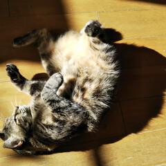 猫屋敷/冬/フォロー大歓迎/ペット/ペット仲間募集/猫/... 冬の陽だまりでゴロゴロ🐱  師も走る12…