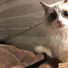 弘太郎さんのジロー日記/LIMIAペット同好会/フォロー大歓迎/ペット/ペット仲間募集/猫/... ジローくん、今日も美形だねえ😎