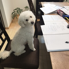 トイプードル 勉強してる〜