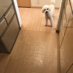 トイプードル ごはんが終わるとキッチンにいるわたしのと…