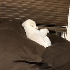 トイプードル 怒ったら あっち向いて寝ちゃった