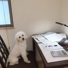 トイプードル 今日はにぃにのお部屋でお勉強🐶