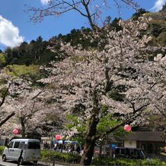 桜/SL/大井川鉄道/まつり 牛代の水目桜とかわね桜まつり。(5枚目)