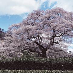 桜/SL/大井川鉄道/まつり 牛代の水目桜とかわね桜まつり。