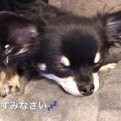 おやすみなさい/マロ/チワワ/ペット/犬 おやすみなさい💤
