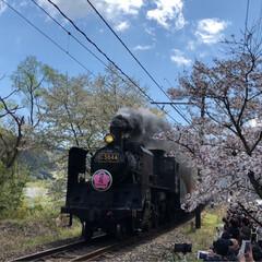 桜/SL/大井川鉄道/まつり 牛代の水目桜とかわね桜まつり。(3枚目)