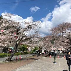 桜/SL/大井川鉄道/まつり 牛代の水目桜とかわね桜まつり。(4枚目)