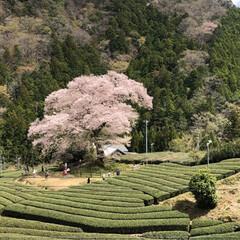 桜/SL/大井川鉄道/まつり 牛代の水目桜とかわね桜まつり。(2枚目)