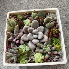 多肉植物 2週間前だけど寄せ植えしてみました。 冬…