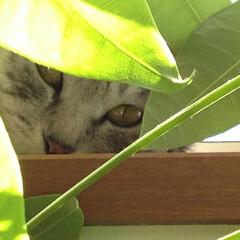 緑/まーちゃん/ねこ 🍃葉っぱとおんなじオメメのまーちゃん。