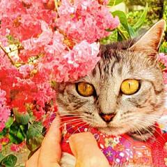 花/抱っこ/ねこ/まーちゃん/百日紅 さるすべりとまーちゃん②