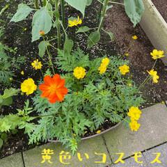 ガーデニング/コスモス 🌼黄色いコスモス🌼  去年はオレンジ色だ…(1枚目)