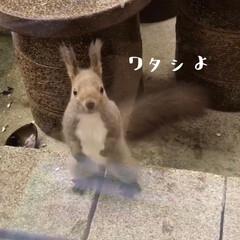 エゾリス/かわいい/動物 🐿未公開写真🐿  窓からのぞいてクルミを…