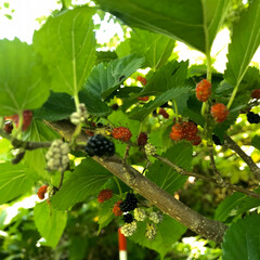 観葉植物/南国/動物/おすすめ/生き物/自然/... マルベリー近所に自生してるんです
