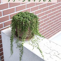 観葉植物のある暮らし/グリーンネックレス グリーンネックレス