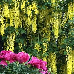 お散歩/花に癒される 散歩中に感動、癒されたした風景😄 黄色い…