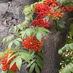 木の実/秋見つけた/お散歩 ナナカマド、ツリバナ、オンコ 赤い木の実…