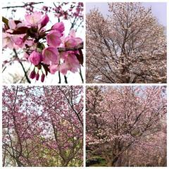 桜咲く 桜🌸咲く 桜前線が北上してようやく 札幌…