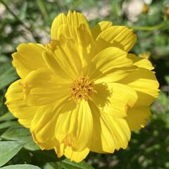 ガーデニング/コスモス 🌼黄色いコスモス🌼  去年はオレンジ色だ…(2枚目)