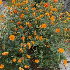 オレンジ色/コスモスが満開/花 今年はオレンジ🧡コスモスが 大盛況でした…