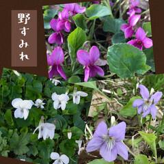 秘密の場所/山野草 三色の野すみれ達  赤紫色のはレアカラー…