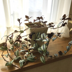 癒しの空間/観葉植物のある暮らし 観葉植物には日々癒されて います😊 名無…