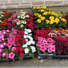 ペンタス/メランポジウム/ブルーサルビア/センニチコウ/マリーゴールド/コリウス/... 職場の花植えの為、購入🌼 これではまだ足…(7枚目)