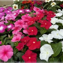 ペンタス/メランポジウム/ブルーサルビア/センニチコウ/マリーゴールド/コリウス/... 職場の花植えの為、購入🌼 これではまだ足…(1枚目)