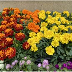 ペンタス/メランポジウム/ブルーサルビア/センニチコウ/マリーゴールド/コリウス/... 職場の花植えの為、購入🌼 これではまだ足…(5枚目)
