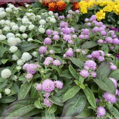 ペンタス/メランポジウム/ブルーサルビア/センニチコウ/マリーゴールド/コリウス/... 職場の花植えの為、購入🌼 これではまだ足…(4枚目)