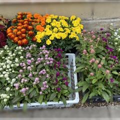 ペンタス/メランポジウム/ブルーサルビア/センニチコウ/マリーゴールド/コリウス/... 職場の花植えの為、購入🌼 これではまだ足…(8枚目)
