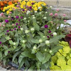 ペンタス/メランポジウム/ブルーサルビア/センニチコウ/マリーゴールド/コリウス/... 職場の花植えの為、購入🌼 これではまだ足…(6枚目)