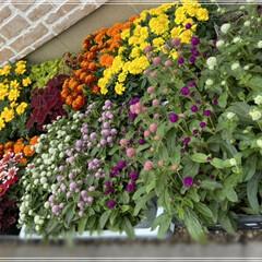 ペンタス/メランポジウム/ブルーサルビア/センニチコウ/マリーゴールド/コリウス/... 職場の花植えの為、購入🌼 これではまだ足…(9枚目)