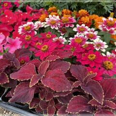 ペンタス/メランポジウム/ブルーサルビア/センニチコウ/マリーゴールド/コリウス/... 職場の花植えの為、購入🌼 これではまだ足…(2枚目)