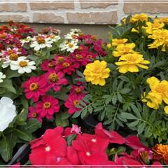 ペンタス/メランポジウム/ブルーサルビア/センニチコウ/マリーゴールド/コリウス/... 職場の花植えの為、購入🌼 これではまだ足…(3枚目)
