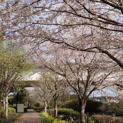 横浜/桜/お出かけ/森/散歩/たけのこ/... 近所は森を保全した公園がたくさんあるので…(3枚目)
