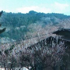 秋吉台キャンプ場/桜🌸 他にも所々桜🌸が咲いていました! ところ…